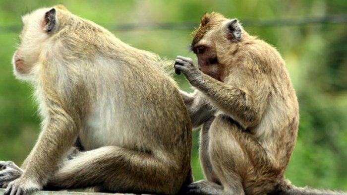 4 Peribahasa Tentang Monyet Populer Guratgarut Com