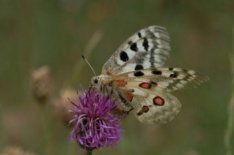 jenis kupu kupu appolo butterfly