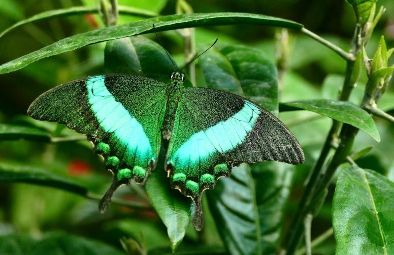 emerald swalowtail