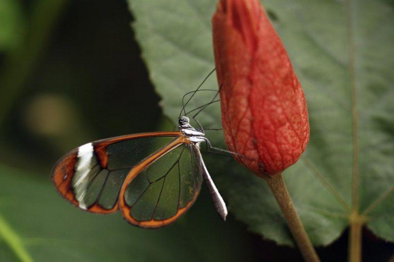 jenis kupu kupu glasswinged