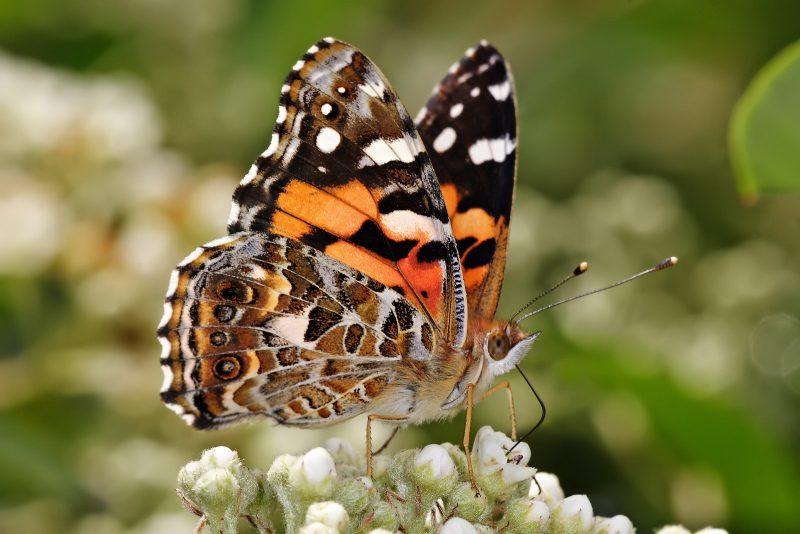 australian painted butterfly