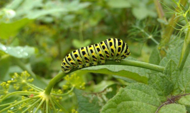 fase larva pada kupu kupu