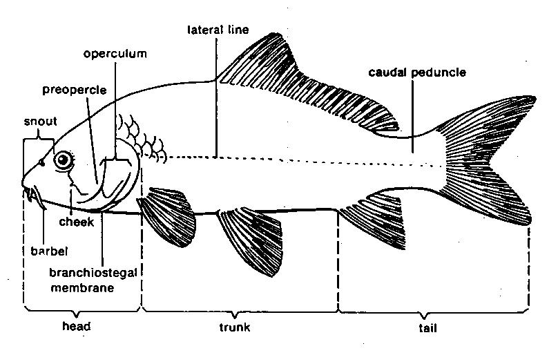 morfologi ikan mas