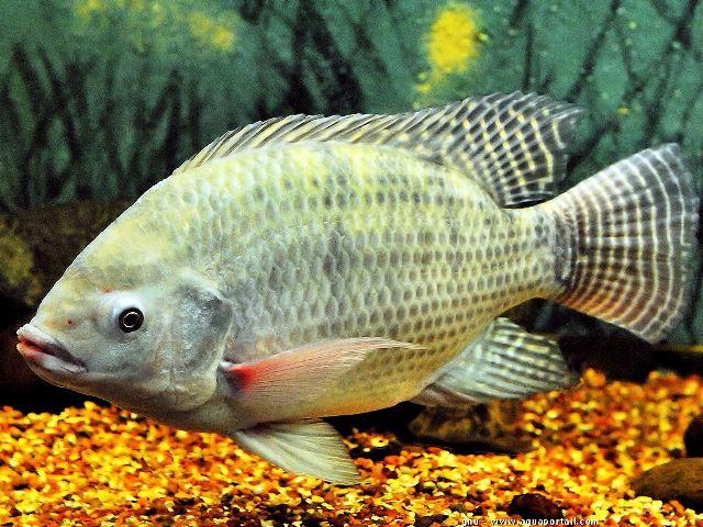 Jenis Ikan Air Payau Yang Bisa Kamu Konsumsi Guratgarut