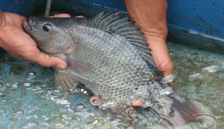 jenis ikan air payau