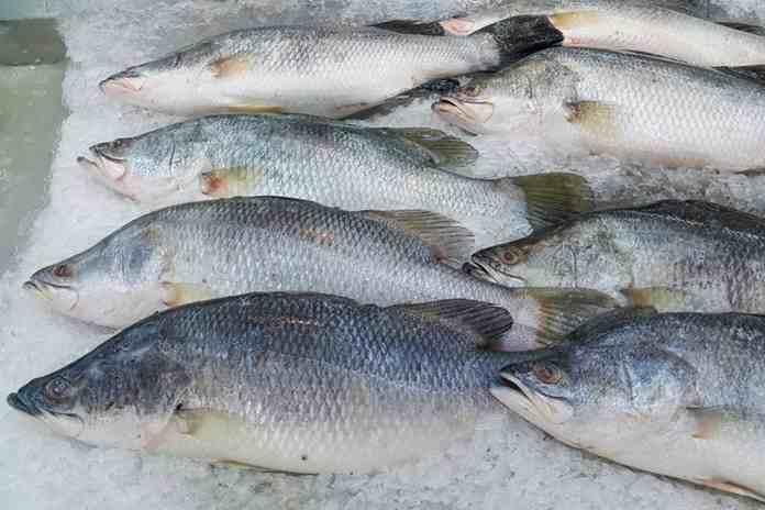 ikan kakap putih